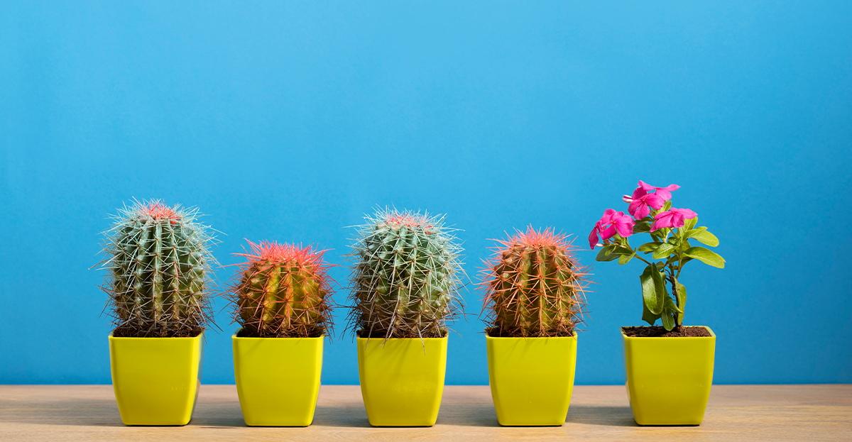 Cactus Culture Hero