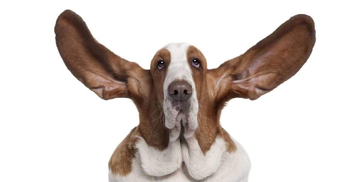 dog big ears listening strategy hero
